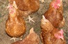 Царско-сельская порода кур