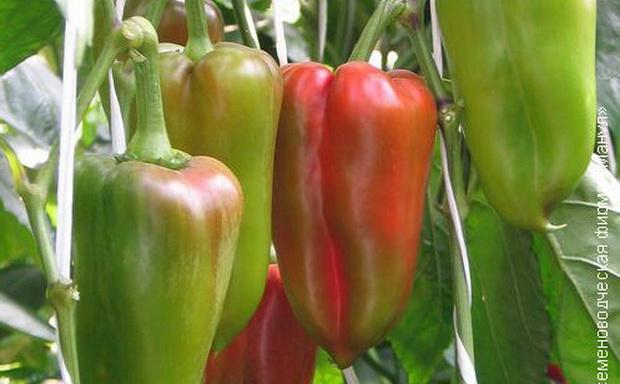 Сорт перца сладкого: Центурион   f1