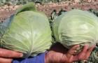 Сорт капусты белокочанной: Церокс f1
