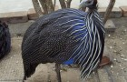 Цесарка - царская курица