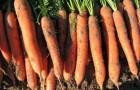 Сорт моркови: Цетор f1