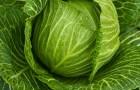 Сорт капусты белокочанной: Талисман f1
