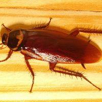 Таракан рыжий