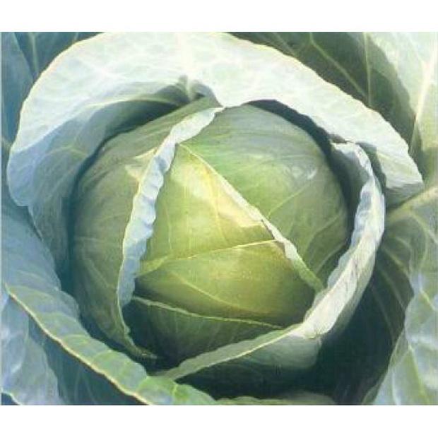 Сорт капусты белокочанной: Тенесити   f1