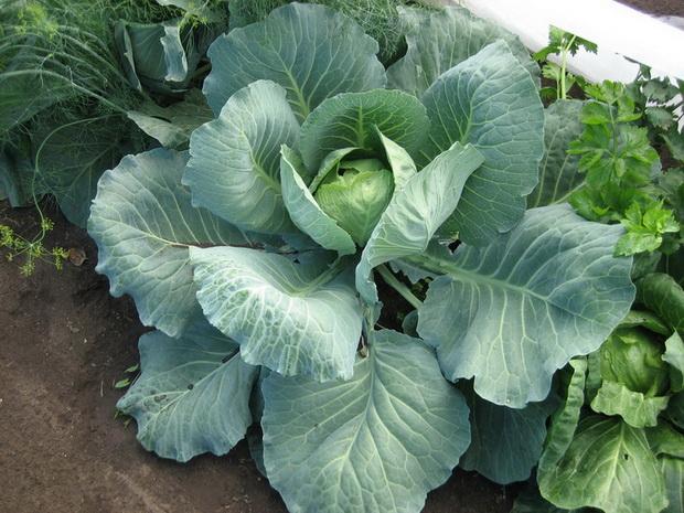 Сорт капусты белокочанной: Теща