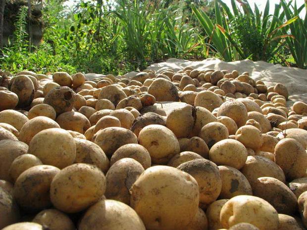 Сорт картофеля: Тимо ханккиян