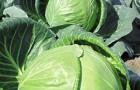 Сорт капусты белокочанной: Тобия f1