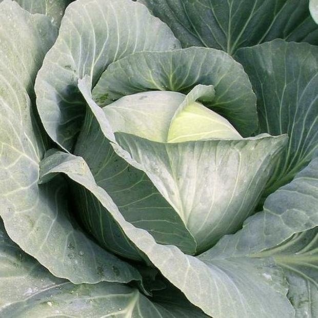 Сорт капусты белокочанной: Транзам   f1