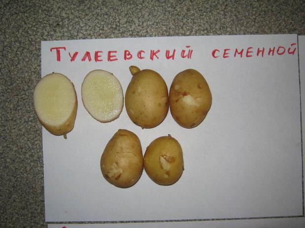 Сорт картофеля: Тулеевский