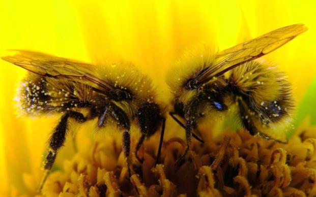 Ученые создают пчелиный банк спермы