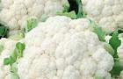 Сорт капусты цветной: Ундина