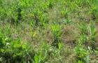 Уничтожение сорняков в стадии «белых нитей»