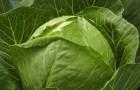 Сорт капусты белокочанной: Универс f1