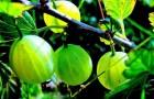 Сорт крыжовника: Уральский виноград