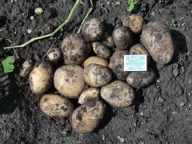 Сорт картофеля: Утенок
