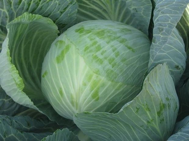 Сорт капусты белокочанной: Валентина   f1