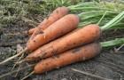 Сорт моркови: Варвара