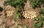 Сорт картофеля: Вэлор