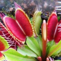 Венерина мухоловка – плотоядное растение