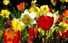 Весенняя композиция с нарциссами и тюльпанами
