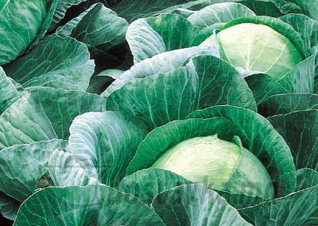 Сорт капусты белокочанной: Вестри   f1