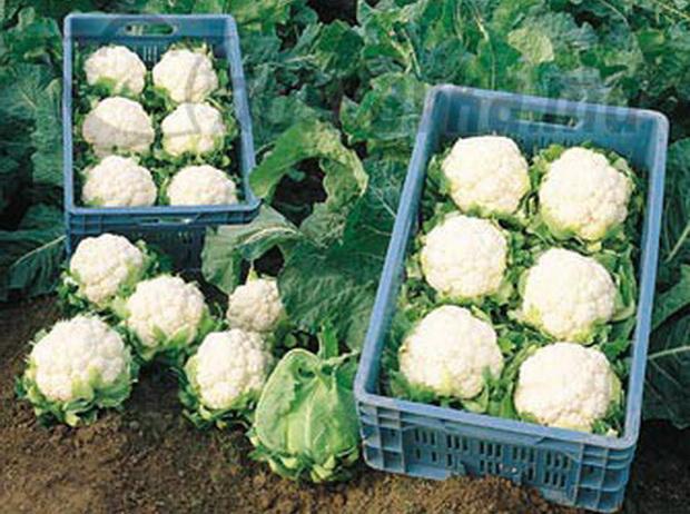 Сорт капусты цветной: Винсон   f1