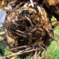 Вредитель корневищных — проникающая короткотелая нематода, или проникающий пратиленх