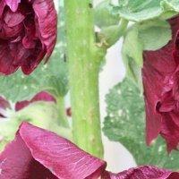 Вредитель корневищных — стеблевая нематода