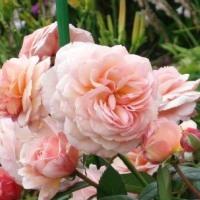 Вредитель роз — почковый комарик