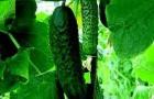 Сорт огурца: Вятский f1