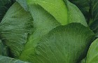 Сорт капусты белокочанной: Вьюга