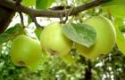 Яблоки и яблони