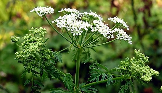 Ядовитый сорняк — болиголов крапчатый (омег)