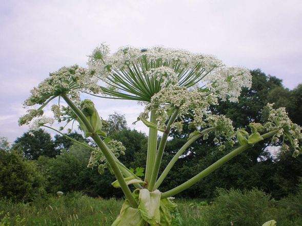 Ядовитый сорняк — борщевик сибирский