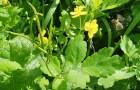 Ядовитый сорняк — чистотел большой