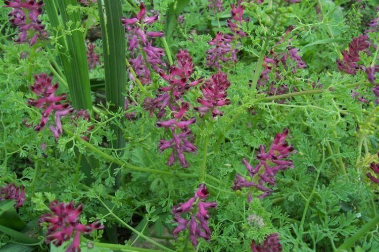 Ядовитый сорняк — дымянка лекарственная