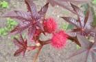 Ядовитый сорняк — клещевина обыкновенная