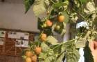 Сорт малины: Янтарная