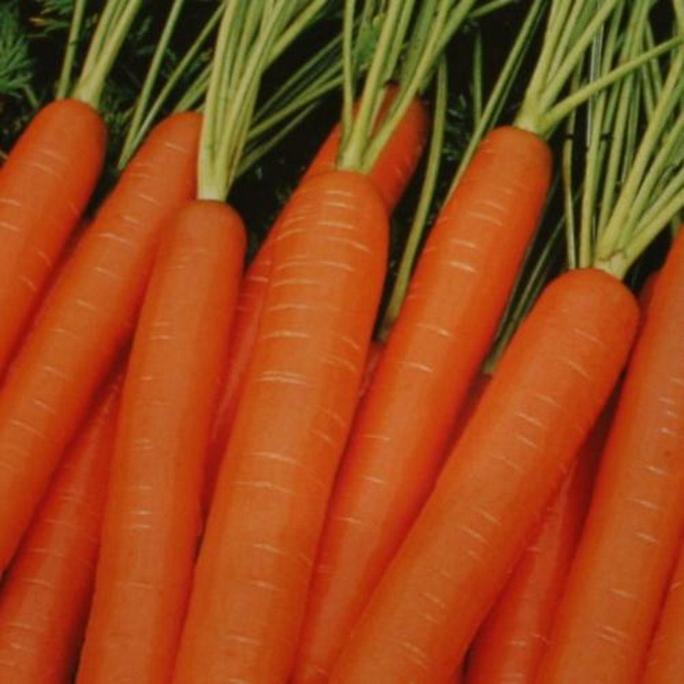 Сорт моркови: Яя   f1