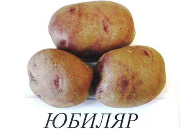 Сорт картофеля: Юбиляр