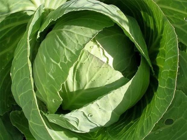 Сорт капусты белокочанной: Юниор   f1