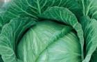 Сорт капусты белокочанной: Южанка 31