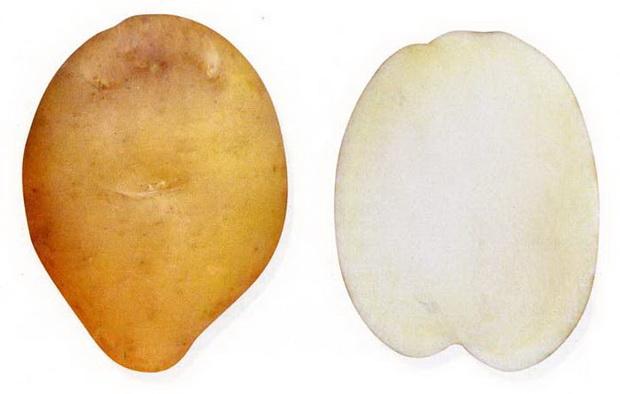 Сорт картофеля: Жигулевский