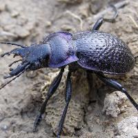 Жужелица фиолетовая