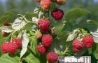 Сорт малины: За здравие