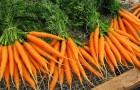 Сорт моркови: Забава f1