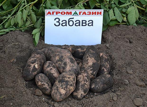 Сорт картофеля: Забава