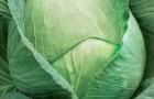 Сорт капусты белокочанной: Залп f1