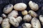 Сорт картофеля: Здабытак