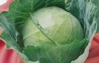 Сорт капусты белокочанной: Зенит f1